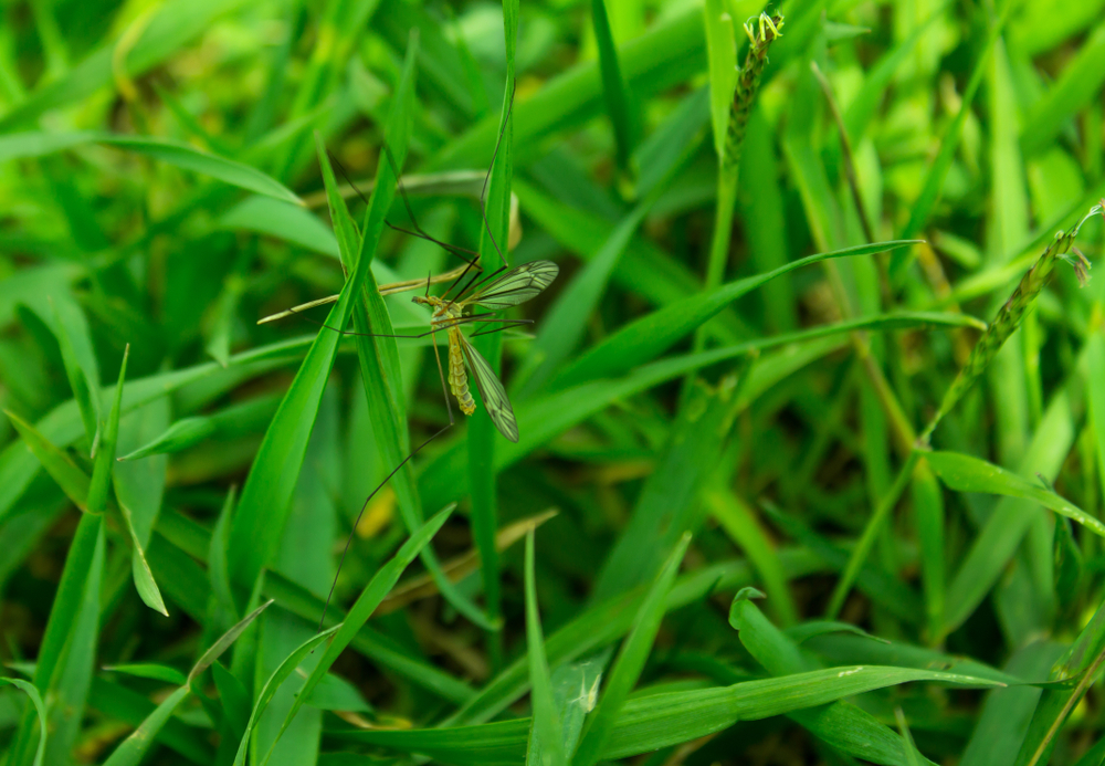 mosquito in grass